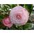 Camellia japonica Kerguelen - Thoby Gaujacq
