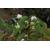 Heptacodium miconioides - Thoby Gaujacq