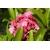 Kalmia latifolia Otsbo Red (2)