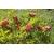 Kalmia latifolia Otsbo Red (3)