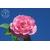 Camellia sasanqua Fanny de Gaujacq
