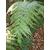 Woodwardia orientalis Gaujacq