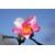 EF0E0E27-EF3A-4ADD-8BF9-Camellia 'Yume' à Gaujacq