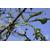 Aesculus_Laciniata_Thoby Gaujacq