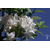 Rhododendron_viscosum_Thoby_gaujacq