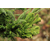 CRYPTOMERIA japonica Cristata Thoby Gaujacq