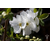 EXOCHORDA_macrantha_The_Bride_thoby Gaujacq