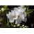 EXOCHORDA_macrantha_The_Bride_thoby Gaujacq