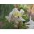 LONICERA_fragrantissima_Thoby Gaujacq