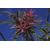 RHODODENDRON_macrosepalum_var_linearifolium_Thoby Gaujacq