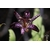 TRICYRTIS_Empress_2-THOBY-GAUJACQ
