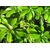 Trochodendron_aralioides-THOBY-GAUJACQ_0021