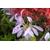 Rhododendron macrosepalum Koromo-shikibu -Thoby Gaujacq