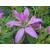 Rhododendron macrosepalum Koromo-shikibu -Thoby Gaujacq 2