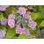 HYDRANGEA macrophylla Cahetel_ Thoby Gaujacq
