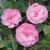 Camellia Fragrant Joy- thoby Gaujacq02