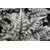 ATHYRIUM niponicum GHOST_Thoby Gaujacq
