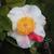 CAMELLIA-japonica-Kyo-nishiki-Thoby-Gaujacq2