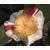 CAMELLIA-japonica-Kyo-nishiki-Thoby-Gaujacq