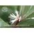 Sarcococca hybride 'Winter Gem' -Thoby Gaujacq