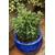 Sarcococca hybride Winter Gem -Thoby Gaujacq