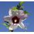 Hibiscus syriacus Pinky Spot - Thoby Gaujacq 2