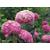 HYDRANGEA arborescens INVINCIBELLE Thoby Gaujacq