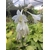 Hosta Christmas Tree Thoby Gaujacq 1