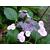 Hydrangea macrophylla Komochiana Seruka (1)