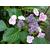 Hydrangea macrophylla 'Komochiana Seruka' (2)