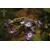 HYDRANGEA macrophylla Vehuiah Thoby Gaujacq