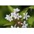 ABELIA triflora (11)