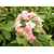 Hydrangea stellata