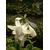 Hosta x 'Fragrant Bouquet'-Thoby Gaujacq