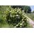 HYDRANGEA quercifolia Thoby Gaujacq