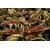 Leucothoe fontanesiana HOWW© White Water - Thoby Gaujacq