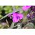 Tradescantia (Andorsoniana Group) Concord Grapes -Thoby Gaujacq