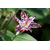 Trycirtis stolonifera -Thoby Gaujacq
