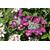 HYDRANGEA macrophylla Rotschwanz (10)