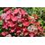 HYDRANGEA macrophylla Rotschwanz (13)