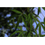 ACER pentaphyllum (2)