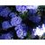 Ceanothus Blue Sapphire - Thoby Gaujacq