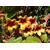 Bignonia capreolata _ Thoby Gaujacq
