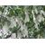 800px-Zakdoekjesboom_bloemen_(Davidia_involucrata)