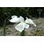 Iris ensata Enchantement - Thoby Gaujacq