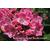 Kalmia latifolia 'Bridesmaid'