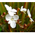 LIbertia grandiflora - Thoby Gaujacq
