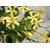 Trachelospermum asiaticum Christabel Biendenberg - Thoby Gaujacq-1