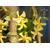 Trachelospermum asiaticum Christabel Biendenberg - Thoby Gaujacq-2