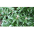 sarcococca rucifolia
